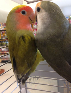 LoveBirdPic